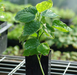 Betel, Wild (Piper sarmentosum) potted plant, organic