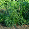 Plantain, Herba Stella (Plantago coronopus) potted plant, organic
