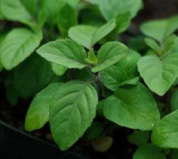 Tulsi, Rama--Holy Basil (Ocimum tenuiflorum) potted plant, organic