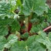 Rhubarb, Glaskins Perpetual (Rheum rhabarbarum), potted plant