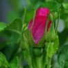 Rose, Rugosa (Rosa rugosa) potted bush, organic