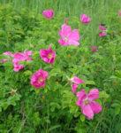 Rose, Rugosa (Rosa rugosa) potted bush, organic