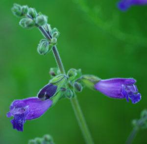 Sage, Dan-shen Gansu (Salvia przewalskii) potted plant, organic