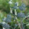 Sage, Purple (Salvia leucophylla) potted plant, organic