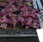 Shiso, Purple (Perilla frutescens) potted plant, organic