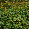 Spilanthes, Official (Acmella oleracea) potted plant, organic
