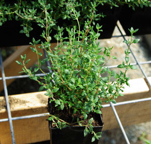 Thyme, French (Thymus vulgaris) potted plant, organic