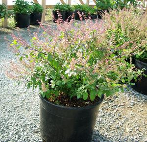 Tulsi, Amrita -- Holy Basil (Ocimum tenuiflorum), potted plant, organic