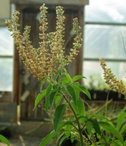 Tulsi, Vana--Holy Basil (Ocimum gratissimum) potted plant, organic