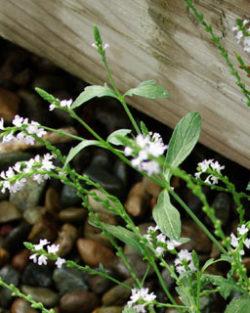 Vervain, European (Verbena officinalis) potted plant, organic