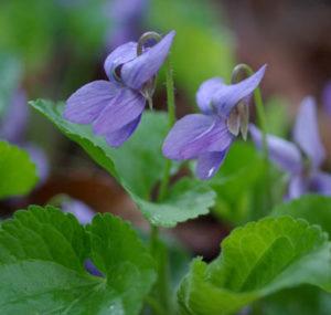 Violet, Sweet (Viola odorata) potted plant, organic