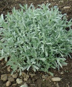 Mugwort, Western (Artemisia ludoviciana) potted plant, organic