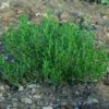 Savory, Winter (Satureja montana) potted plant, organic