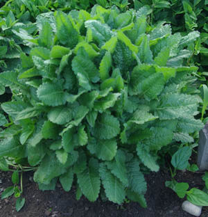 Wood Betony (Stachys officinalis) potted plant, organic