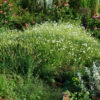 Dream Root, Xhosa (Silene capensis) plant, organic