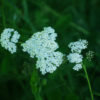 Yarrow, Official (Achillea millefolium) potted plant, organic
