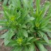 Yerba del Lobo (Helenium hoopesii) potted plant, organic
