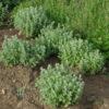 Zaatar (Origanum syriacum) potted plant, organic