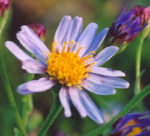 Aster, Purple (Aster tataricus), potted plant, organic