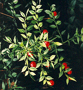 Butchers Broom (Ruscus aculeatus) potted plant, organic