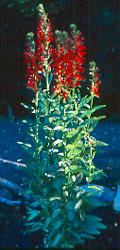 Cardinal Flower (Lobelia cardinalis) potted plant, organic