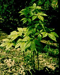 Eleuthero, Spineless (Eleutherococcus senticosus) potted shrub, organic