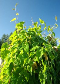 He-shou-wu (Polygonum multiflorum) potted plant, organic