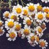 Feverfew (Tanacetum parthenium) potted plant, organic