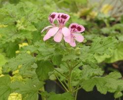 """Geranium, Scented """"Fair Ellen"""", (Pelargonium quercifolium) plant, organic"""