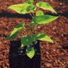 He-shou-wu (Polygonum multiflorum) potted plant, organic