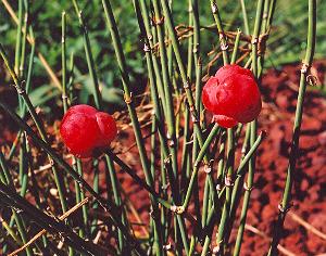 Ma-huang (Ephedra sinica) potted seedling, organic
