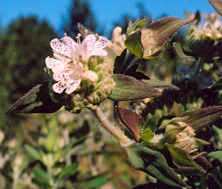 Mint, Mountain* (Pycnanthemum virginianum) potted plant, organic