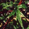 Mugwort, Common (Artemisia vulgaris) potted plant, organic