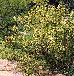 Oregano, Greek (Origanum heracleoticum) potted plant, organic