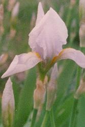 Orris Root (Iris florentina) potted plant, organic