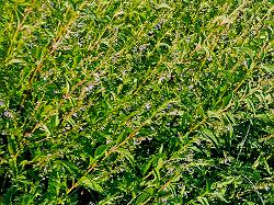 Skullcap, Official (Scutellaria lateriflora) potted plant, organic