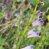 Skullcap, Barbat (Scutellaria barbata) potted plant, organic