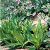 Gentian, Tibetan (Gentiana tibetica) potted plant, organic