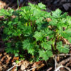 Aconite, Monkshood (Aconitum napellus), packet of 50 seeds