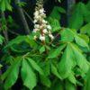 Horse Chestnut (Aesculus hippocastanum), packet of 3 seeds, organic