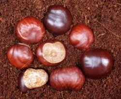 Horse Chestnut (Aesculus hippocastanum), packet of 3 seeds, organic