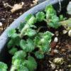 Alehoof (Glechoma hederacea), packet of 30 seeds, organic