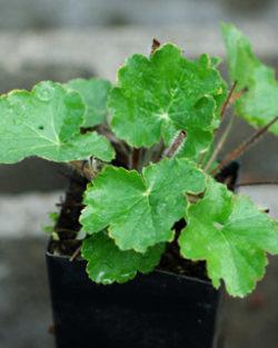 Alum Root (Heuchera richardsonii), packet of 100 seeds