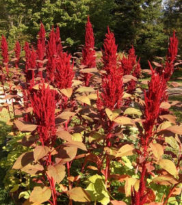 Amaranth, Hopi Red Dye (Amaranthus cruentus), packet of 100 seeds, organic