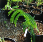 Amla (Emblica officinalis), packet of 20 seeds