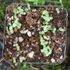 Pellitory (Anacyclus pyrethrum), packet of 50 seeds, organic