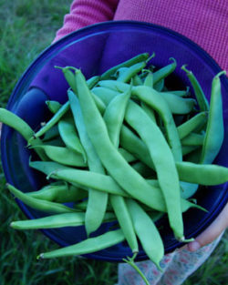 Bean, Anasazi Cave Pole Beans (Phaseolus vulgaris), packet of 20 seeds, organic