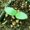 Anchusa, Azure (Anchusa azurea), packet of 20 seeds