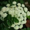 Angelica, Oregon Coast (Angelica hendersonii), packet of 50 seeds