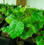 Annatto (Bixa orellana) packet of 20 seeds